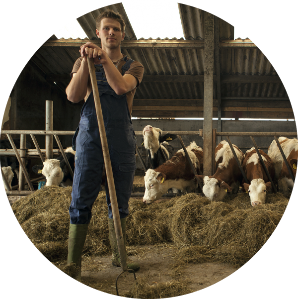 Boer Boy Griffioen met zijn koeien in de stal